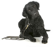 Curly coated retriever. On a leather leash and choke collar isolated on white background royalty free stock images