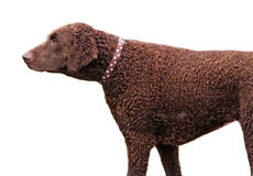 Curly Coated Retriever Stock Photography