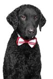 Curly coated retriever in bow tie Royalty Free Stock Photo