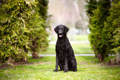 Curly coated retriever dog Royalty Free Stock Photos