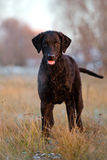 Curly coated retriever dog outdoors Royalty Free Stock Images