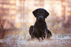 Curly coated retriever dog outdoors Stock Photo