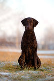 Curly coated retriever dog outdoors Stock Image