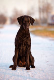 Curly coated retriever dog outdoors Royalty Free Stock Photo