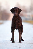 Curly coated retriever dog outdoors Royalty Free Stock Image