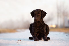 Curly coated retriever dog outdoors Royalty Free Stock Photos