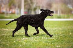Curly coated retriever dog running outdoors Stock Image