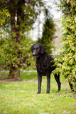 Curly coated retriever dog standing outdoors Stock Photos