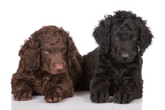 Curly coated retriever puppies Royalty Free Stock Photo