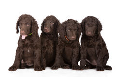 Curly coated retriever puppies Royalty Free Stock Photos