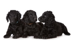 Curly coated retriever puppies Stock Images