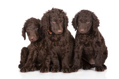 Curly coated retriever puppies Royalty Free Stock Photography