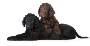Curly coated retriever puppies Stock Photo