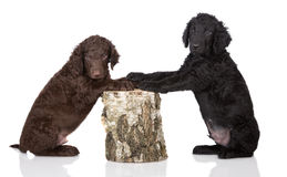 Curly coated retriever puppies Stock Photography