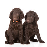 Curly coated retriever puppies Stock Photos