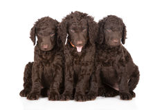 Curly coated retriever puppies Royalty Free Stock Image