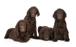 Curly coated retriever puppies Stock Image