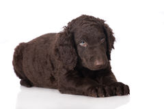 Curly coated retriever puppy Royalty Free Stock Image