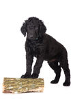 Curly coated retriever puppy Royalty Free Stock Photography