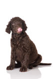 Curly coated retriever puppy Royalty Free Stock Photos