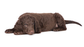 Curly coated retriever puppy Royalty Free Stock Images