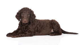 Curly coated retriever puppy Stock Photo