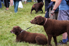 Curly Coated Retrievers. Two Curly Coated Retrievers wearing pretty spotted collars at the local dog show Stock Photo