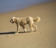 Curly coated tan brown dog waking on sandy beach. Royalty Free Stock Photography