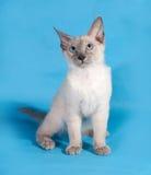 Curly Cornish Rex kitten with blue eyes sitting on blue Stock Photo