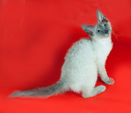Curly Cornish Rex kitten with blue eyes sitting on red Royalty Free Stock Image