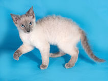 Curly Cornish Rex kitten with blue eyes standing on blue Royalty Free Stock Photo
