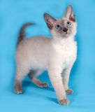 Curly cornish rex kitten standing on blue Royalty Free Stock Images