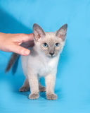 Curly cornish rex kitten stands next to human hand on blue. Background Royalty Free Stock Images