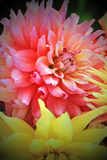 Curly dahlias. Stock Photos