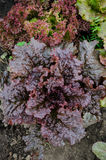 Curly dark red lettuce Royalty Free Stock Photos