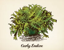Curly Endive vintage illustration vector. Curly Endive vector illustration after vintage etching from Brockhaus` Konversations-Lexikon, 14th edition, Leipzig Stock Photo