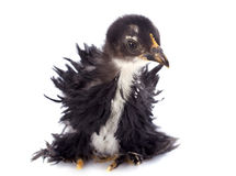 Curly Feathered chick Pekin. Curly Feathered chicken Pekin in front of white background Royalty Free Stock Photography