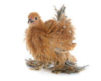 Curly Feathered chicken Pekin. In front of white background Royalty Free Stock Photos