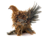 Curly Feathered chicken Pekin Royalty Free Stock Image