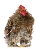 Curly feathered rooster Pekin, 1 years old, Stock Photos