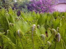 Curly ferns with a purple background royalty free stock image