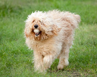 Curly Fleece Cream Labradoodle Fetching a Ball Stock Photography