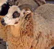 Curly Fleeced Sheep Stock Image