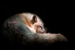 Curly fox. White fox in shadow with black background Royalty Free Stock Images