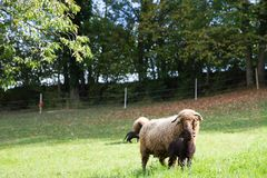 Curly Fur Sheep with Horns and Baby Lamb in Green Swiss Meadow stock image
