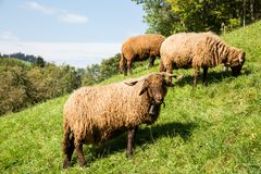 Curly Fur Sheep with Neck Bell in Green Swiss Farm on a Sunny Da stock photos