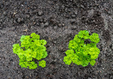 Curly garden parsley plants from above Stock Photo