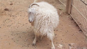 Curly goat on a farm close up stock video footage