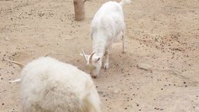 Curly goat on a farm close up stock footage