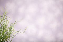 Curly grass with pearly background Stock Photo